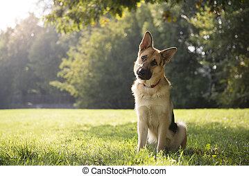 joven, purebred, perro de alsatian, en el estacionamiento