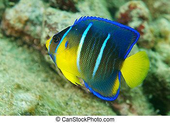joven, reina, protección, cierre, angelfish, reef., natación