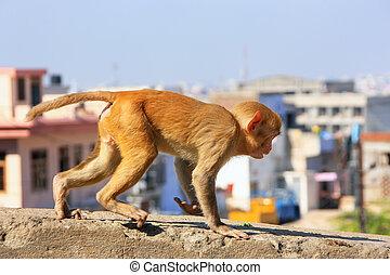 joven, rhesus, macaco, corriente, en, un, pared, en, jaipur,...