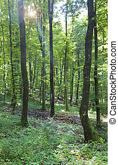 joven, roble, bosque
