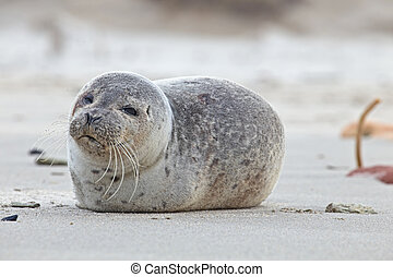 joven, sello, en la playa