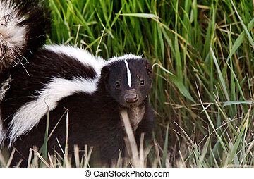 joven, skunk rayado, en, zona lateral de camino, zanja