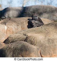 joven, solo, gorila, sentado