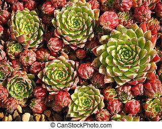 Jovibarba hirta succulent plants in a pot