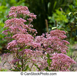 Joy Pye Weed - Joe Pye Weed (Eutrochium purpureum) blooming ...