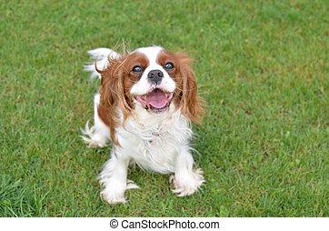 joyeux, chien, sur, a, pelouse