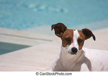 JRT soaks up the sun poolside on a warm summer day. - JRT...
