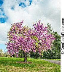 judas, 木, 花が咲く