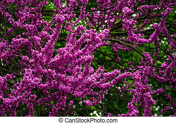 Judas tree blossom in springtime - Beautiful springtime...