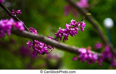 Judas tree blossom in springtime - Beautiful springtime...