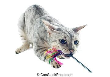 juego, bengala, gato