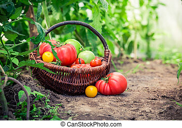 jugoso, tomates, en, suelo