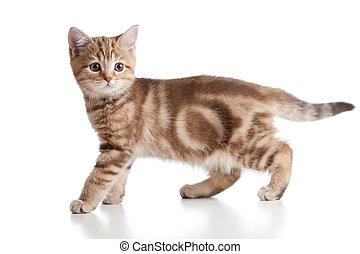 juguetón, tabby., breed., británico, kitten.