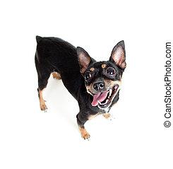 juguete, ángulo, vista, perro, de par en par, posición, cima...