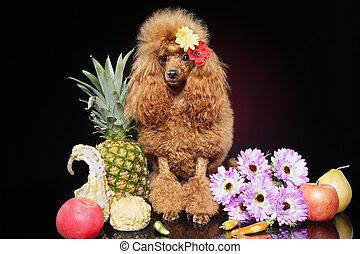 juguete, poodle, en, fruits, contra, un, fondo oscuro