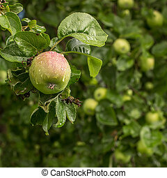juicy apple hanging on a tree branch in the garden covered with water