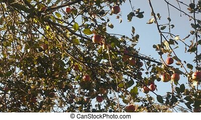 Juicy apples on a tree branch in the garden. Apple tree in the evening.