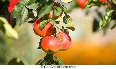 Juicy apples on the tree