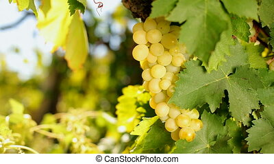Juicy bunch of grapes - A bunch of white grapes growing on...