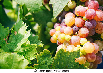 Juicy grape vines