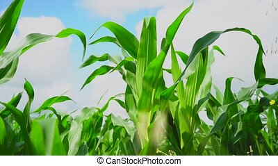 Juicy green leaves of a corn plantation, swaying in the wind against the blue sky