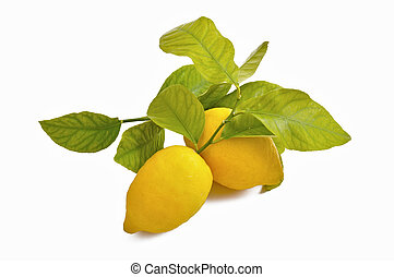 juicy lemon yellow leaves with fresh and genuine