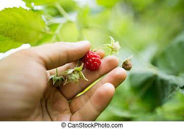 Juicy red berry raspberries in hand in the garden