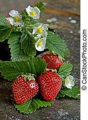 Juicy strawberry - Ripe strawberry-juicy garden crop