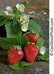 Juicy strawberry - Ripe strawberry-juicy garden crop