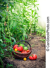 Juicy tomatoes in greenhouse