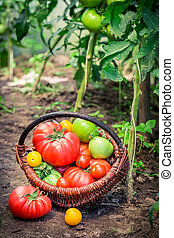Juicy tomatoes in wicker basket