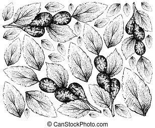 Tropical Fruit, Illustration Wallpaper of Hand Drawn Sketch Jujube, Lang, Chinese Date or Ziziphus Jujuba Fruits