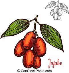 Jujube berry color sketch icon. Vector botanical design of jujube fruits bunch or Chinese date jujuba buckthorn with leaf for juice or jam dessert or farmer market isolated sketch symbol