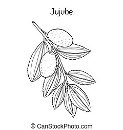Jujube Ziziphus jujuba , or red date, medicinal plant. Hand drawn botanical vector illustration