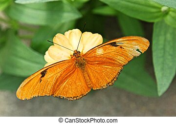 Julia Butterfly aka Dryas iulia - Dryas iulia, commonly...
