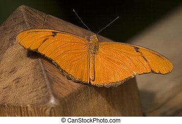 Julia Butterfly Close Up Dryas Julia, Julia Heliconian...