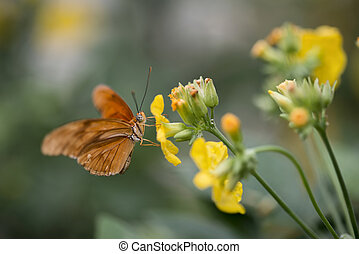 Julia butterfly lepidoptra nymphalidae butterfly on yellow flowers