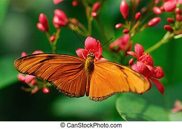 Julia Butterfly or Julia Heliconian on a flower (Dryas julia...