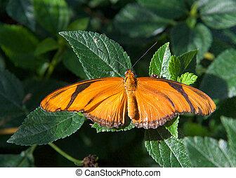 Julia butterfly with wings wide open