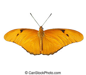 Julia - Dryas Julia - Butterfly on - Close up of a Julia (...