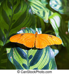 Julia longwing butterfly Dryas iulia in leaf at outdoor