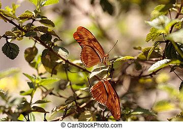 Julia Longwing butterfly, ?Dryas iulia, in a botanical...