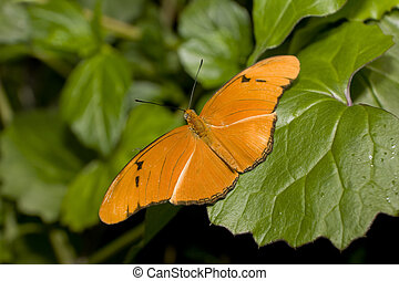 Julia Longwing Butterfly (Julia Heliconian, Dryas Julia)