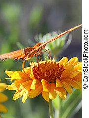 Julia Longwing Butterfly - A Julia Longwing Butterfly on a...