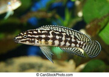 Julidochromis marlieri - Tanganjika Cichlide