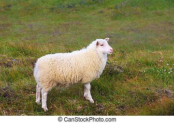 White Icelandic sheep