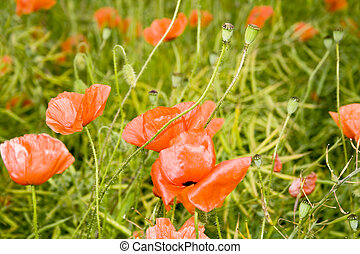 July Red Poppies
