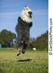 Jumping bobtail dog