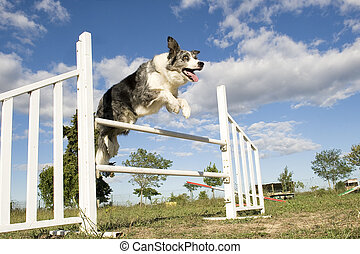 jumping border collie - jumping purebred border collie on a...