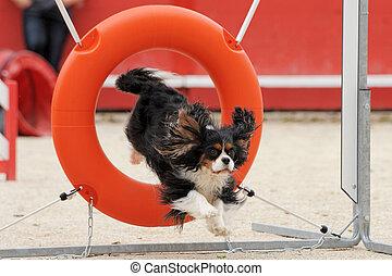 jumping cavalier king charles - jumping purebred cavalier...